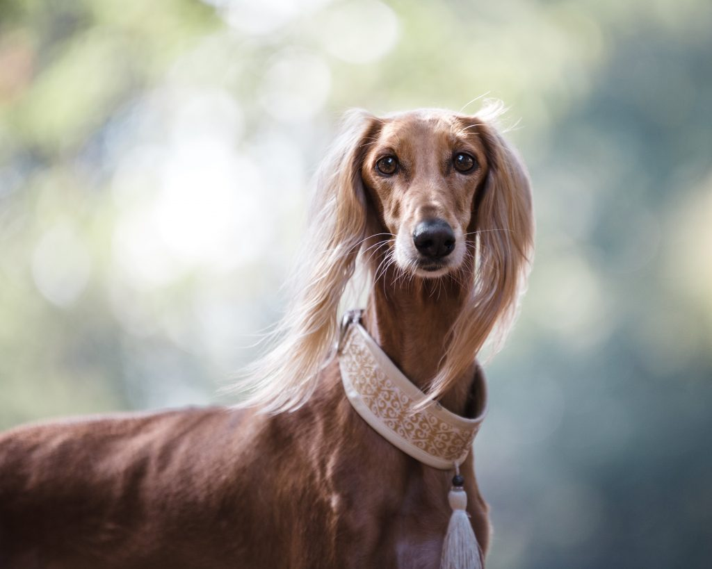 Long Hair - Wiener Dog